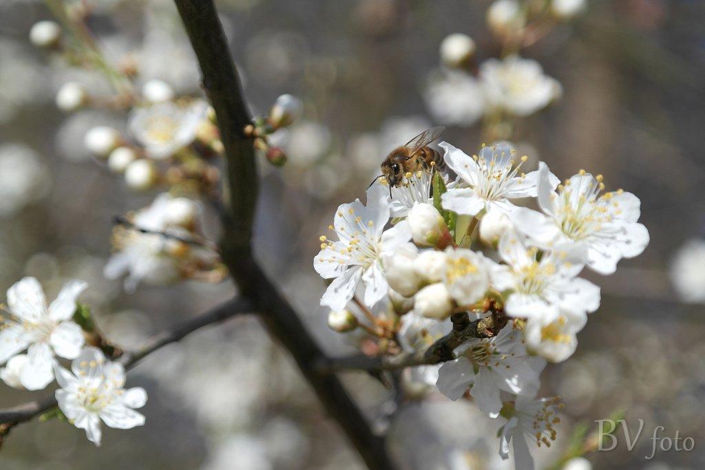 Mirabelle blomst og bi