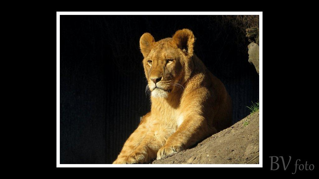 Løve hun - poster