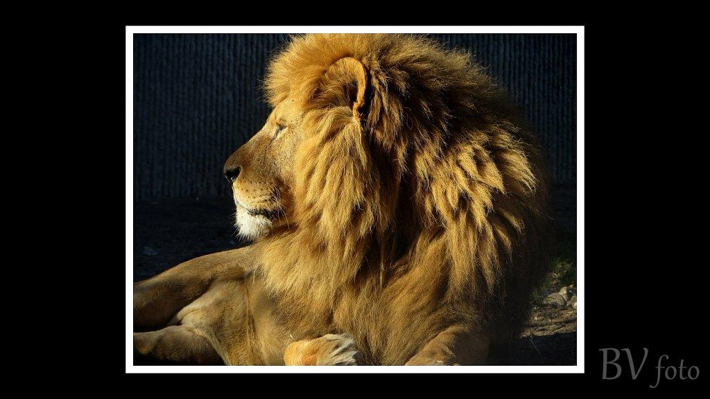 Løve han - poster