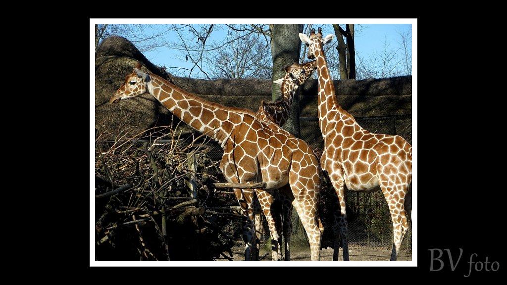 Giraffer - poster